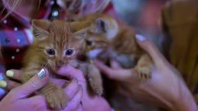 Gatitos rojos preciosos en brazos femeninos Animales domésticos agradables Pequeños mininos almacen de video