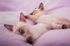 Gatitos siameses dormidos Fotografía de archivo libre de regalías