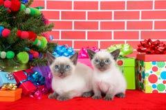Gatitos siameses por el árbol de navidad Imágenes de archivo libres de regalías