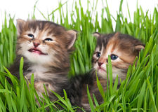 Gatitos siberianos Foto de archivo libre de regalías