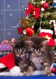 Gatitos siberianos lindos Foto de archivo
