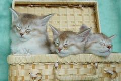 Gatitos somalíes dormidos en una cesta Fotografía de archivo libre de regalías