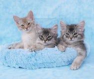 Gatitos somalíes en una cama azul Fotos de archivo libres de regalías
