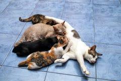 gatitos y gato de la madre Imagen de archivo