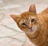 Gato 2 del jengibre Fotos de archivo
