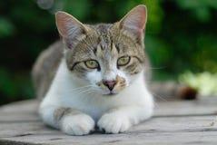 Gato Imagens de Stock Royalty Free