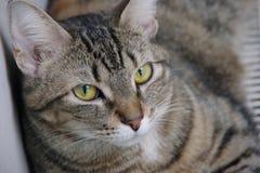 Gato Fotografia de Stock