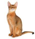 Gato abisinio Imagen de archivo libre de regalías