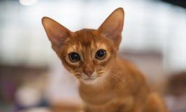 Gato abisinio fotos de archivo libres de regalías