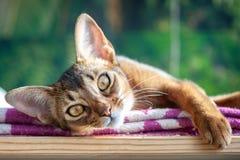 Gato abisinio hermoso en el fondo verde de la selva, la asociación del gato y el salvaje fotografía de archivo