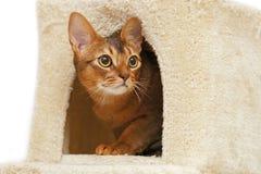 Gato abisinio que se sienta en la casa de un gato Foto de archivo