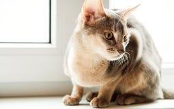 Gato abisinio que se sienta en la ventana en el d3ia, foco selectivo imágenes de archivo libres de regalías