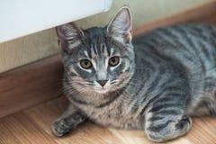 Gato abisinio Retrato ascendente cercano del gato femenino abisinio azul, sentándose en el piso fotos de archivo libres de regalías
