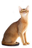 Gato Abyssinian Fotografia de Stock Royalty Free
