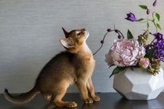 Gato Abyssinian com um vaso das flores Imagens de Stock