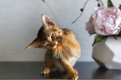 Gato Abyssinian com um vaso das flores Imagens de Stock Royalty Free