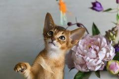 Gato Abyssinian com um vaso das flores Fotos de Stock
