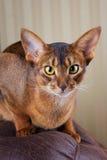 Gato abyssinian do puro-sangue que encontra-se no sofá marrom Imagens de Stock Royalty Free