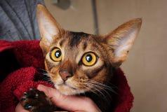 Gato Abyssinian molhado na toalha vermelha nas mãos de mestre Fotos de Stock Royalty Free