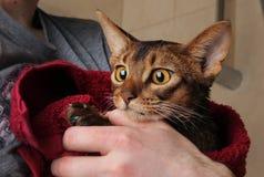Gato Abyssinian molhado na toalha vermelha nas mãos de mestre Imagem de Stock