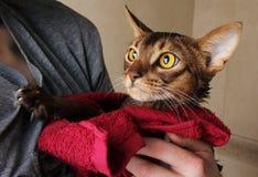Gato Abyssinian molhado na toalha vermelha nas mãos de mestre Fotografia de Stock Royalty Free