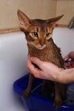 Gato Abyssinian que banha-se Imagens de Stock