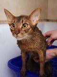 Gato Abyssinian que banha-se Fotos de Stock