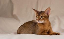 Gato Abyssinian que encontra-se na cama Imagem de Stock