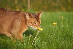 Gato Abyssinian que joga no gramado Imagens de Stock Royalty Free