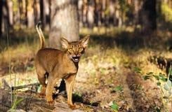 Gato Abyssinian que olha fora entusiasmado Imagens de Stock