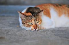 Gato - acostándose Fotografía de archivo