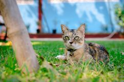 Gato adorável bonito da cor do leopardo que relaxa e que senta-se na grama foto de stock
