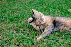 Gato adorable hermoso del color del leopardo del dormilón que se relaja en la hierba foto de archivo