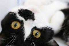 Gato adorador Imagem de Stock Royalty Free