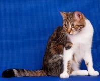 Gato adulto Imagen de archivo libre de regalías