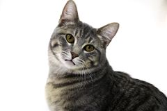 Gato adulto aislado Fotografía de archivo
