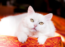 Gato adulto bonito do angora fotografia de stock