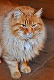 Gato adulto del color rojo Fotografía de archivo libre de regalías