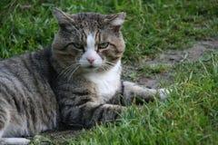 Gato adulto del gato atigrado, animal doméstico nacional Imagen de archivo libre de regalías