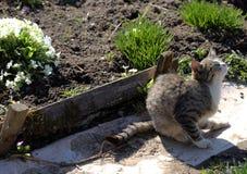 Gato adulto del gato atigrado, animal doméstico nacional Foto de archivo