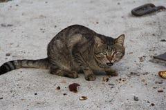 Gato adulto del gato atigrado, animal doméstico nacional Fotografía de archivo libre de regalías
