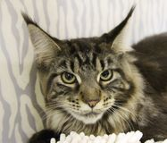 Gato adulto del gato atigrado, animal doméstico nacional Fotos de archivo