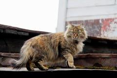 Gato adulto del gato atigrado, animal doméstico nacional Fotografía de archivo