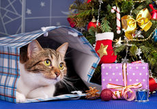 Gato adulto lindo Imagenes de archivo