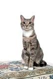 Gato adulto lindo en blanco Foto de archivo
