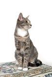 Gato adulto lindo en blanco Imagenes de archivo