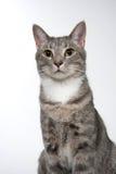 Gato adulto lindo en blanco Imágenes de archivo libres de regalías