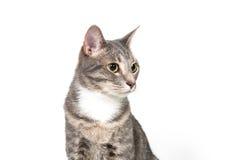 Gato adulto lindo en blanco Fotos de archivo