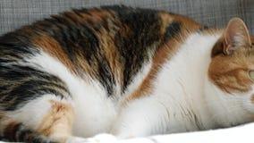 Gato adulto lindo que duerme en día soleado caliente en el sofá almacen de metraje de vídeo