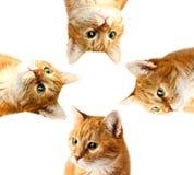 Gato adulto macro da cara vermelha, isolado em um branco Fotos de Stock
